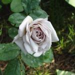 Розы Грей Дон