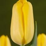 Тюльпаны Санрэй