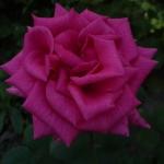 Розы Шокинг Блю