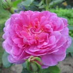 Розы Принцесса Анна