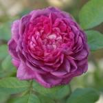 Розы Куин оф зе Виолет