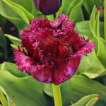 Тюльпаны Лабрадор