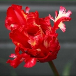 Тюльпаны Ред Пэррот
