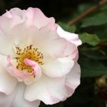 Розы Леди оф Зе Даун