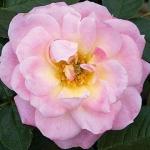 Розы Белле Симфони