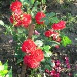 Розы Алаин