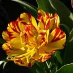 Тюльпаны Джеоржетта