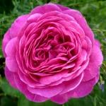 Розы Хайди Клум Роуз