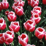 Тюльпаны Вироза