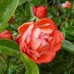 Розы Оранж Морсдаг