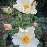 Розы Кью Гарденс