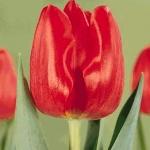 Тюльпаны Мерапи