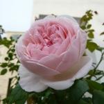 Розы Ст Сесилия