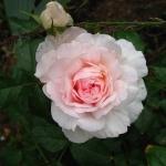Розы Веджвуд Роуз
