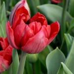 Тюльпаны Сант Тропе