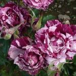 Розы Перпл Тайгер