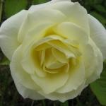 Розы Макис Прайд