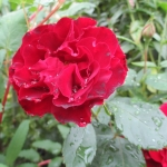 Розы Хоммадж Барбара (Хайнц Винклер)