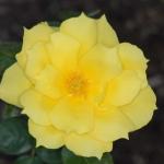 Розы Энтони Меилланд
