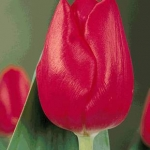 Тюльпаны Лонгфеллоу