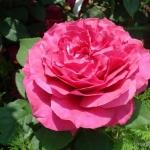 Розы Гарольд Вольфхарт
