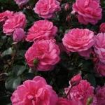 Розы Замок Берлебург