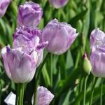 Тюльпаны Сакссес
