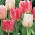 Тюльпаны Хемисфере