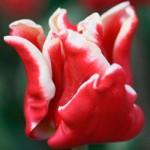 Тюльпаны Элегант Краун
