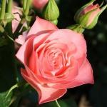 Розы Букет де Марии