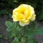 Розы Селина