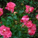 Розы ЮНИСЕФ-Роуз