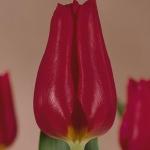 Тюльпаны Коринас Чоиз
