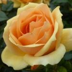 Розы Хансештадт Росток