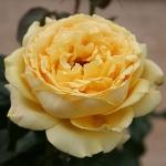 Розы Джульетт Греко