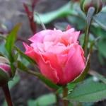 Розы Дриминг Парад