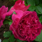 Розы Вильям Шекспир 2000
