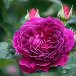 Розы Перпл Лодж