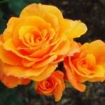 Розы Крис Эверт