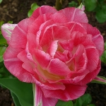 Тюльпаны Вединг Гифт