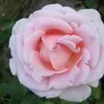 Розы Сандра Ренессанс