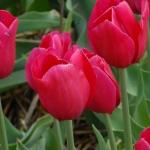 Тюльпаны Ханна Главари