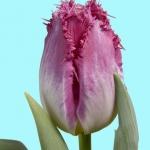 Тюльпаны Ауксере