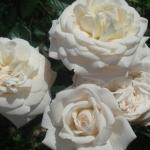 Розы Уайт Голд