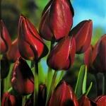 Тюльпаны Уоллфлауэр
