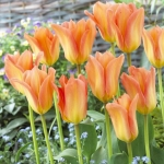 Тюльпаны Эприкот Эмперор