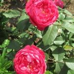 Розы Бенджамин Бриттен