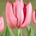 Тюльпаны Лидия