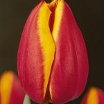 Тюльпаны Кориолан