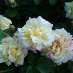 Розы Клаудиа Кардинале